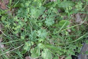 Alchemilla xanthochlora Rothm. - Alchemille des prés