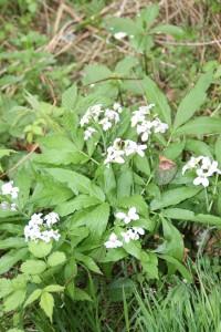 Cardamine heptaphylla (Vill.)O.E Schultz - Dentaire pénnée