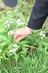 Cardamine heptaphylla (Vill.)O.E Schultz ou Dentaire pénnée