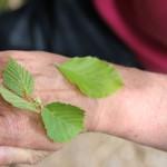 Fagus sylvatica L. - Hêtre commun