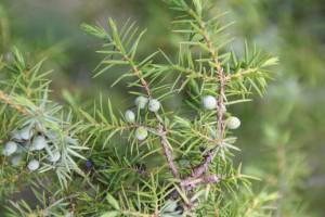 Juniperus communis L. - Genévrier commun