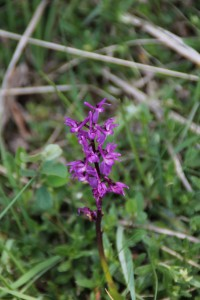 Orchis mascula L. ou Orchis mâle - Flore du Vercors - Seminaire Botanique de l'Anaforcal