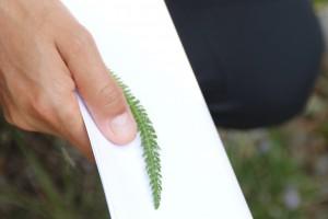 Achillea millefolium L. ou Achillée Millefeuille