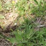 Plantago media L. ou Plantain moyen - Flore du Vercors - Seminaire Botanique de l'Anaforcal