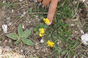 Hippocrepis comosa L. ou Hippocrepide à Toupet - Flore du Vercors - Seminaire Botanique de l'Anaforcal