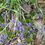 Polygala calcarea F.W. Schultz ou Polygale du calcaire - Flore du Vercors - Seminaire Botanique de l'Anaforcal