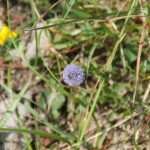 Globularia bisnagarica L. ou Globulaire Commune - Flore du Vercors - Seminaire Botanique de l'Anaforcal