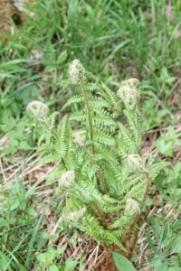 Polystichum setiferum (Forssktl) Woynar - Polystic à soies