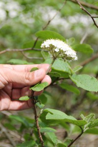 Viburnum lantana L. - Viorne mancienne